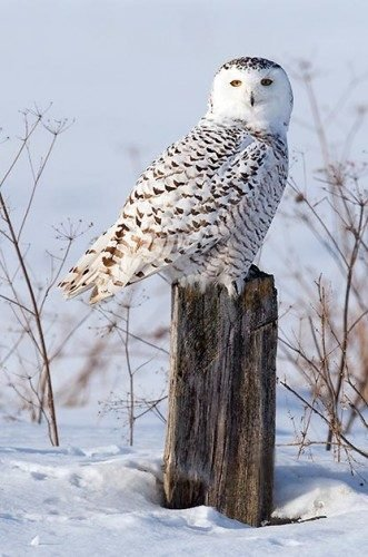 Birding Sites: Snowy owl