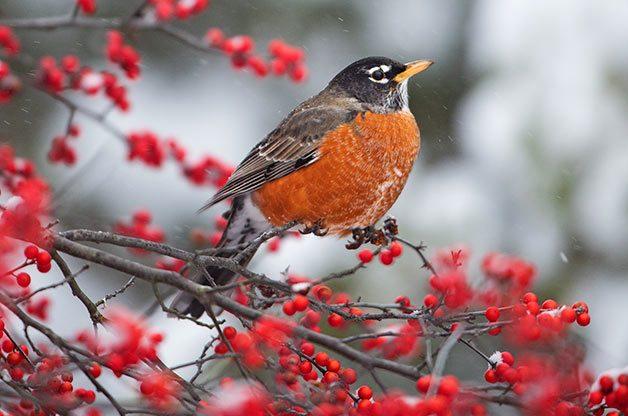 American robin on winterberry
