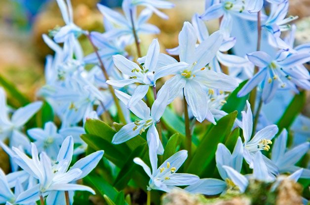 Flower Garden: Early scilla