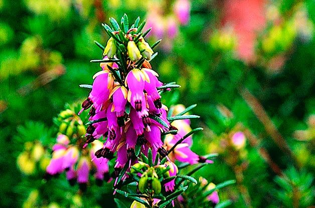 Flower Garden: Winter heath
