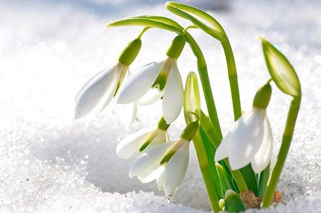 Flower Garden: Snowdrop