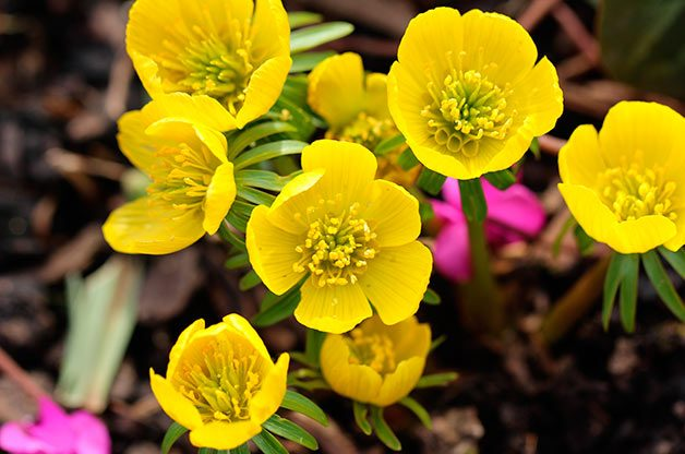 Flower Garden: Winter aconite