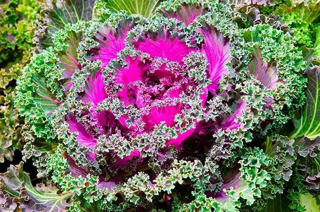 Flower Garden: Ornamental cabbage