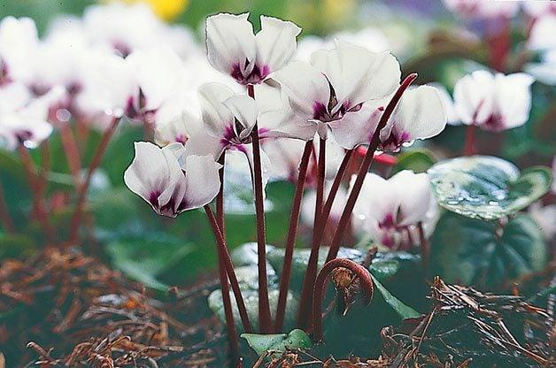 Flower Garden: Cyclamen