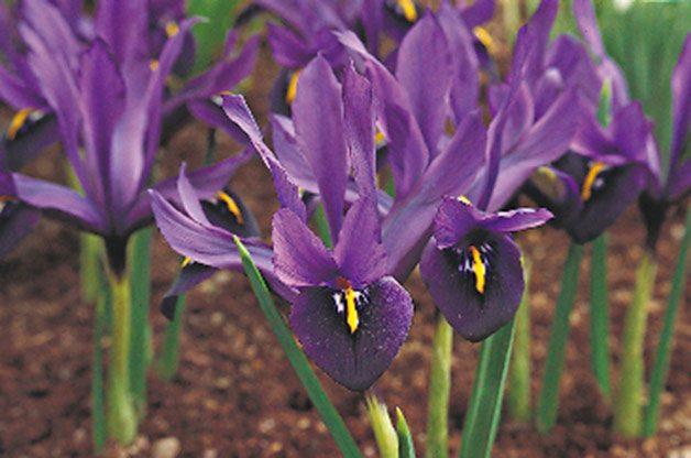 Flower garden: Dwarf iris