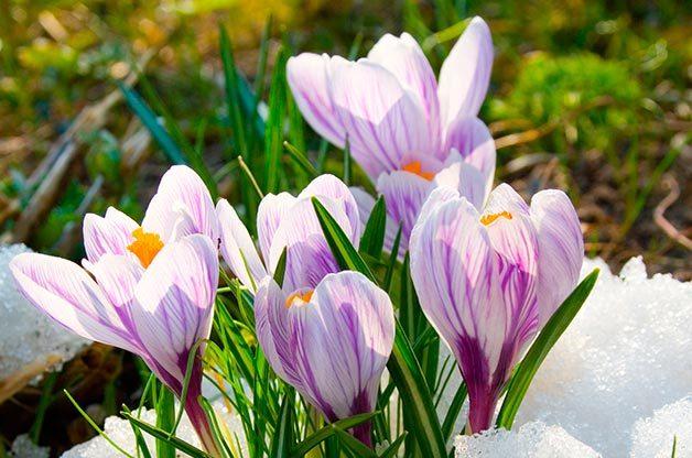 Flower Garden: Crocus