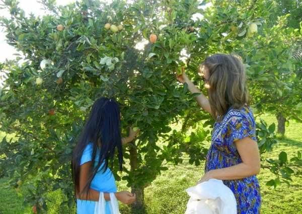 harvesting apples