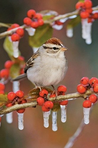 The Most Common Birds Of North America: Chipping sparrow