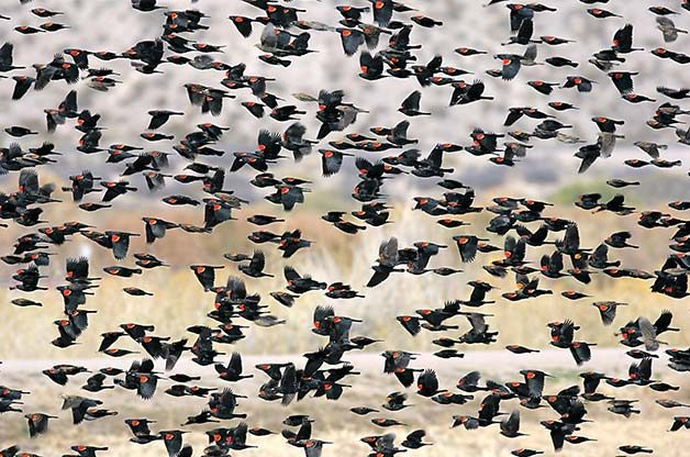 The Most Common Birds Of North America: Red-winged blackbirds
