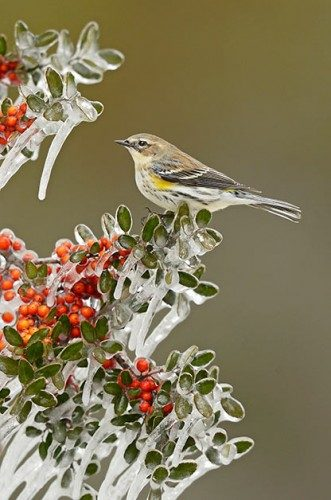 The Most Common Birds Of North America: Yellow-rumped warbler