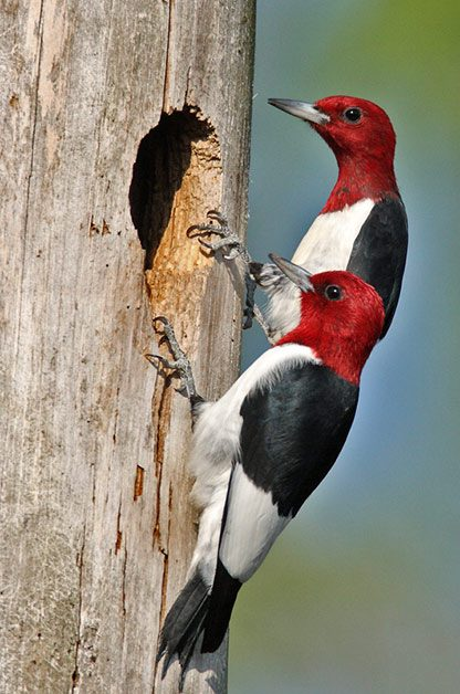 Pictures of redheaded woodpeckers