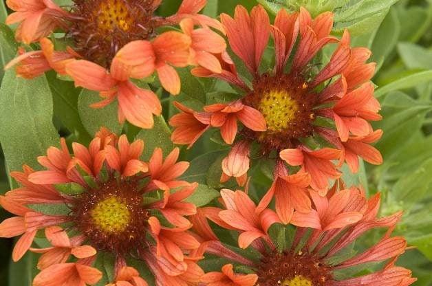 Best Value Plants Blanketflower PerennialResource.com