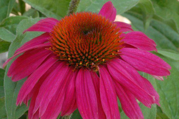 Best Value Plants Coneflower PerennialResource.com