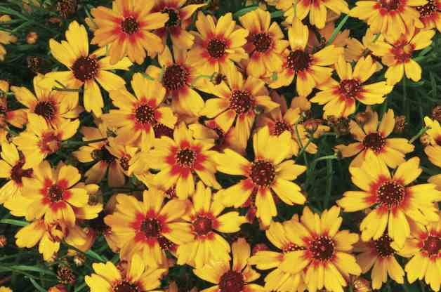 Best Value Plants Coreopsis Terra Nova Nurseries