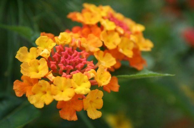 Best Value Plants Lantana