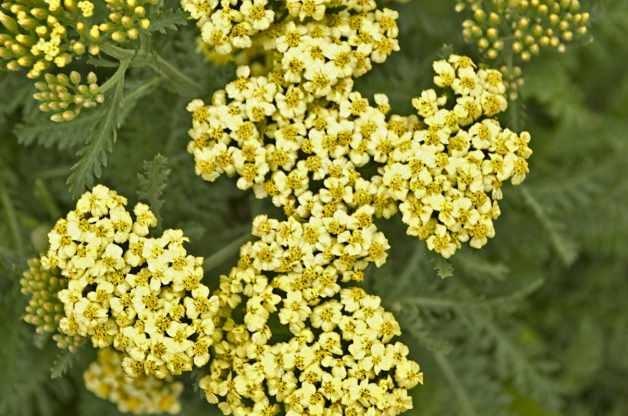 Best Value Plants Yarrow PerennialResourceCom