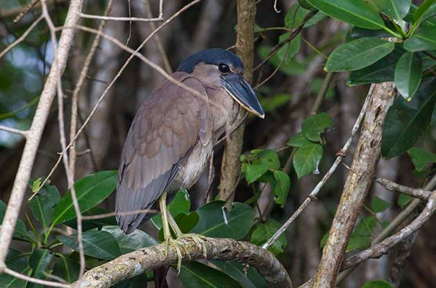 While taking a boat through the mangroves, we found several Boat-billed Herons.