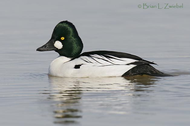 Male Common Goldeneyes are striking birds with very distinct plumage. (Photo by Brian Zwiebel - Sabrewing Nature Tours)