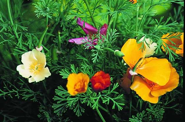 Easy Gardening Plants California Poppy RDA-GID