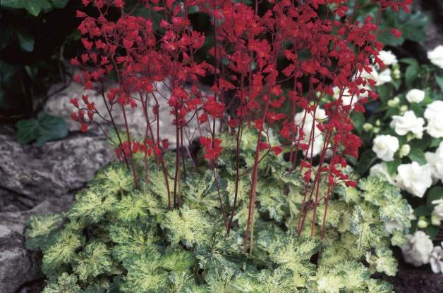 Easy Gardening Plants Coral Bells Future Plants