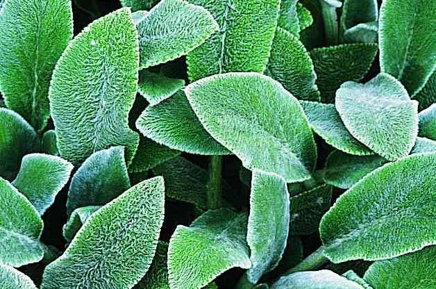 Easy Gardening Plants Lambs Ear RDA-GID