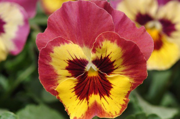 Easy Gardening Plants Pansy Ball Horticultural Company