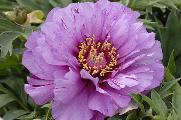 Easy Gardening Plants Peony PerennialResource.com