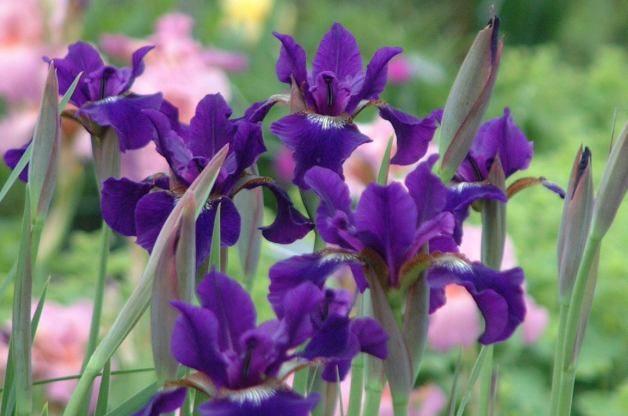 Easy Gardening Plants Siberian Iris PerennialResourceCom