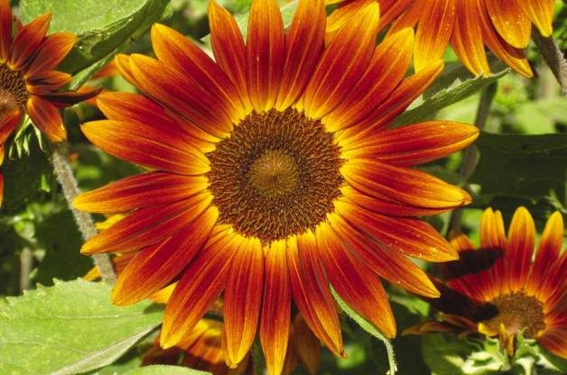 Easy Gardening Plants Sunflower W Atlee Burpee Co