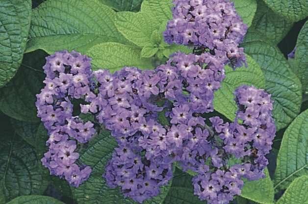 Fragrant Flowers Heliotrope RDA-GID