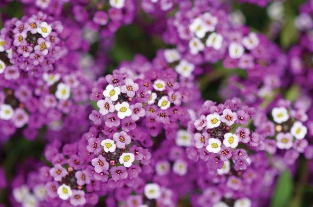 Fragrant Flowers Sweet Alyssum W Atlee Burpee Co