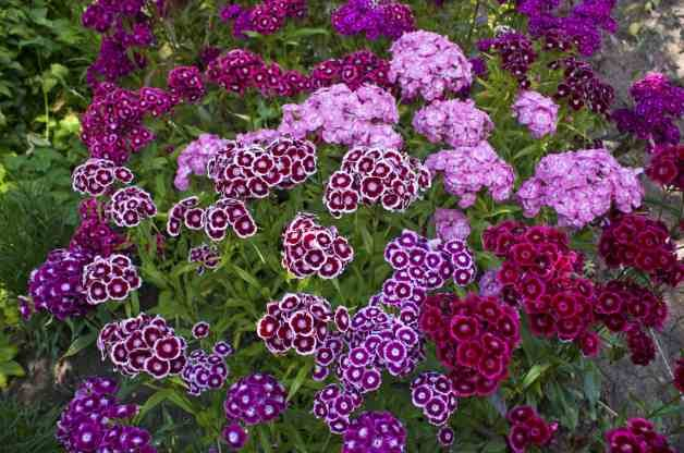 Fragrant Flowers Sweet William