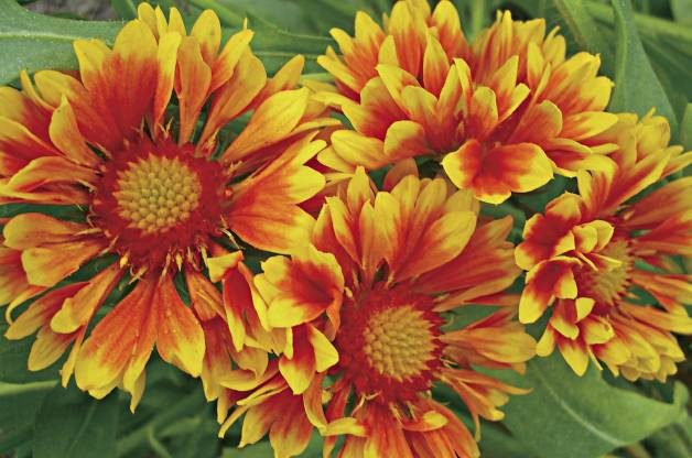 Heat Tolerant Plants Blanketflower Proven Winners