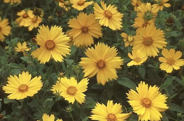 Heat Tolerant Plants Coreopsis RDA-GID