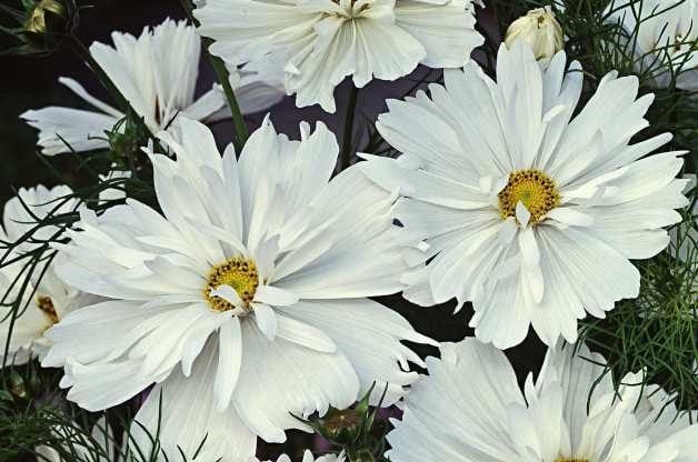 Heat Tolerant Plants Cosmos W Atlee Burpee Co