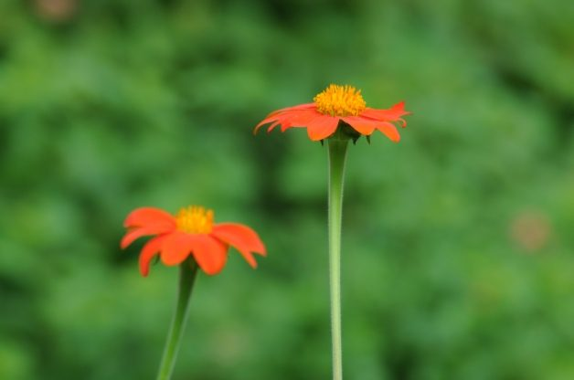 Heat Tolerant Plants Mexican Sunflower