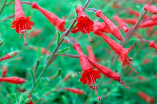 Heat Tolerant Plants Pine Leaf Penstemon Martin Hughes Jones / Alamy