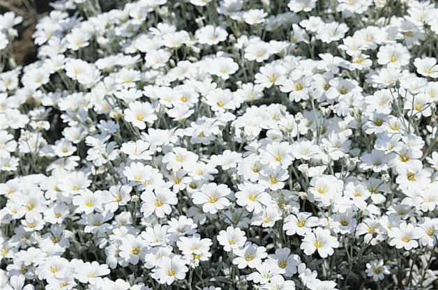 Heat Tolerant Plants Snow in Summer Proven Winners