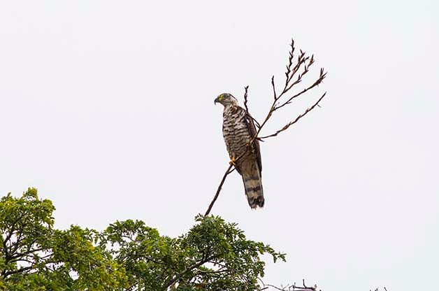 We were quite surprised to find this Hook-billed Kite while birding in Honduras!