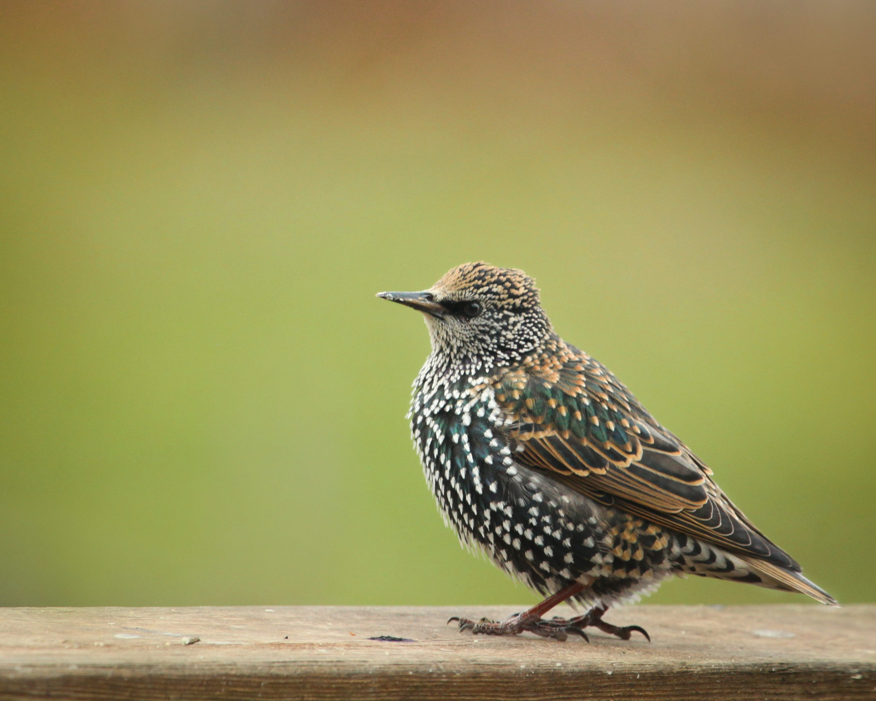 European Starling - Birds and Blooms