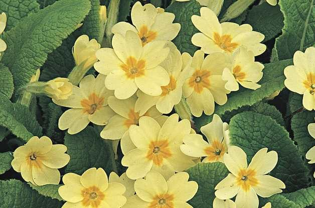 Old Fashioned Flowers English Primrose RDA-GID