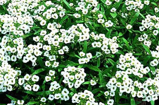 Plants for Rocky Soil Sweet Alyssum RDA-GID