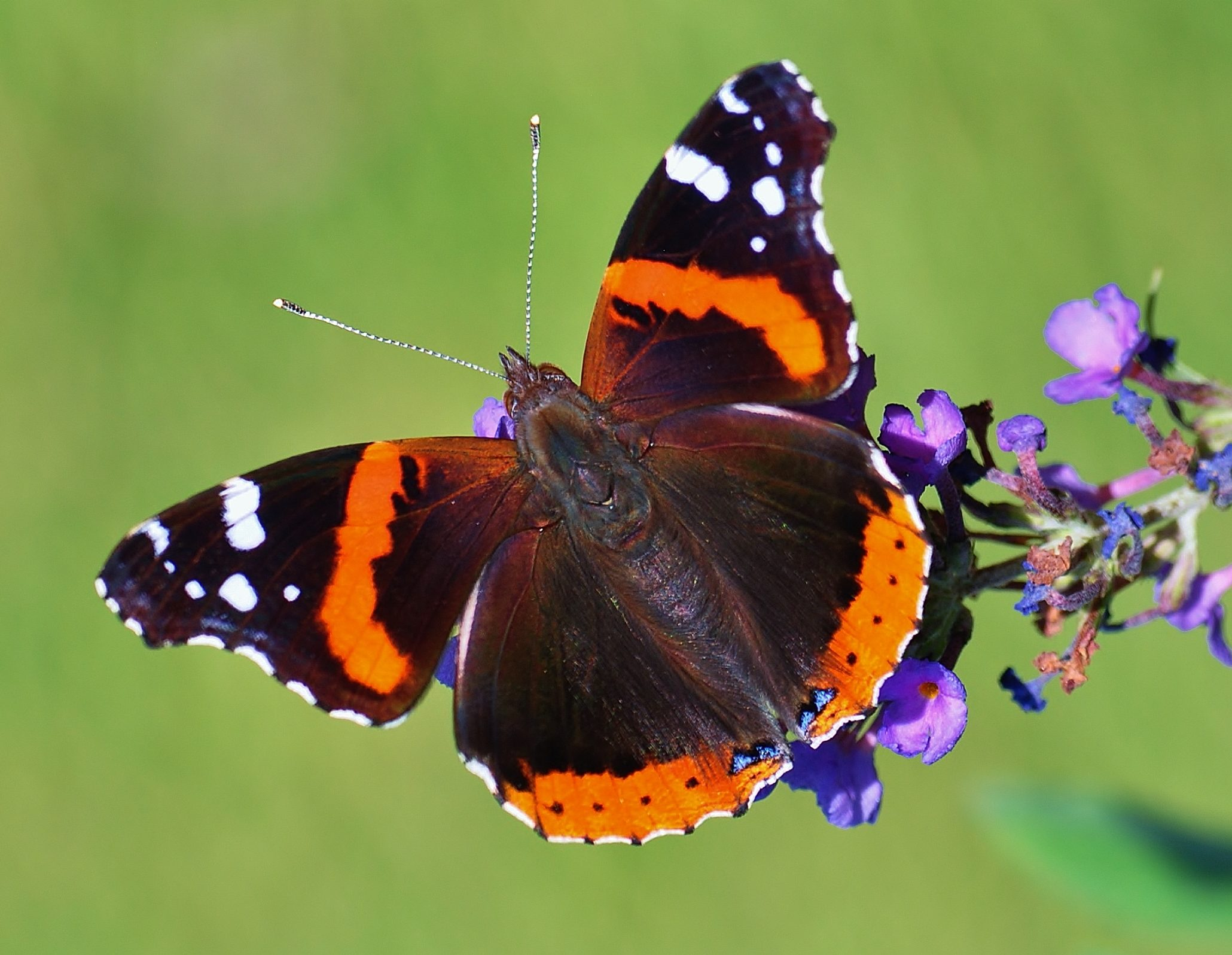 Red Admiral Butterfly - Birds and Blooms