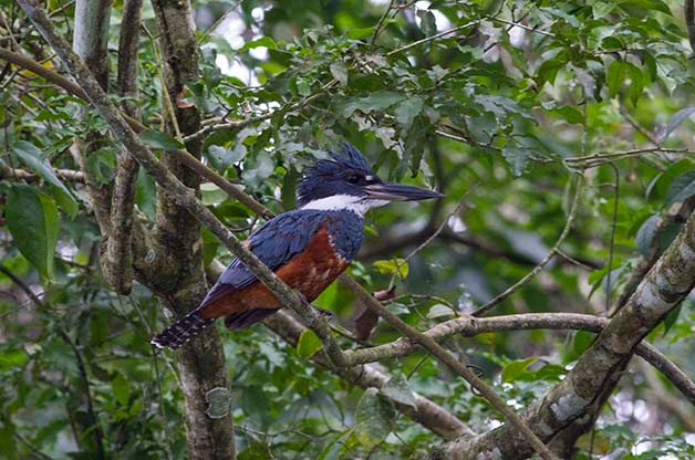 Ringed Kingfishers are one of 5 kingfisher species that can be found where I was birding in Honduras.