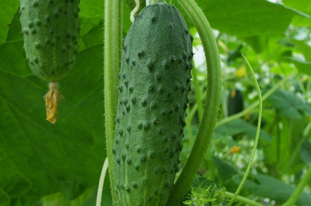 refreshing taste and easy to grow Hungarian mini cucumber 10 seeds mexican