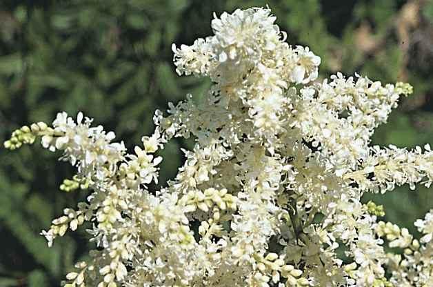 White Flowers Astilbe RDA-GID
