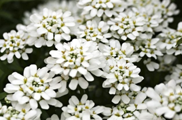 White Flowers Candytuft Proven Winners