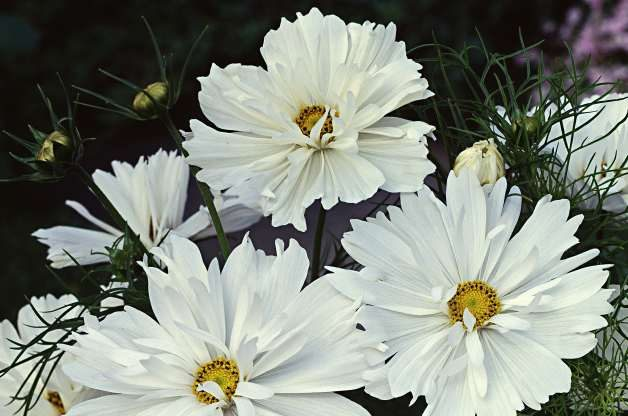 White Flowers Cosmos W Atlee Burpee Co