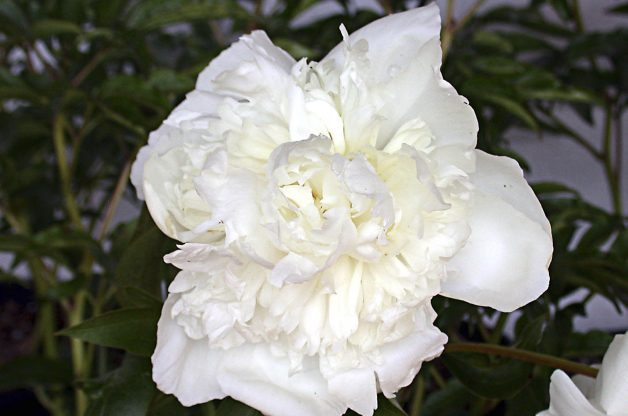 White Flowers Peony Proven Winners