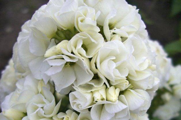 White Flowers Phlox PerennialResourceCom
